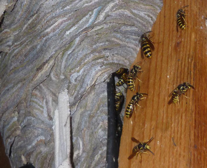 wespen hornissen bund naturschutz kreisgruppe f rth sta bund naturschutz in bayern e v. Black Bedroom Furniture Sets. Home Design Ideas
